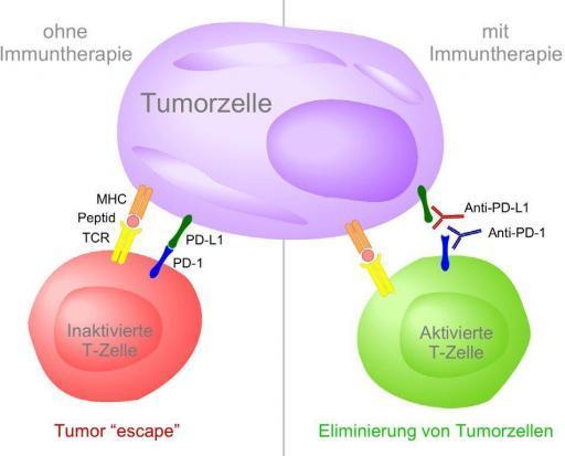 Immuntherapie bei Prostatakrebs, Wirkung von PD-1- und PD-L1-Immun-Checkpoint-Inhibitoren